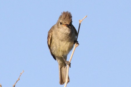 A Northern Beardless Tyrannulet responds to our whisted imitation of its piercing song.
