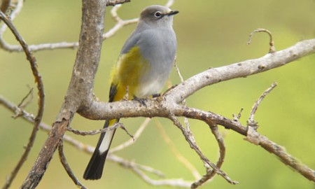 We usually get spectacular views of Gray Silky-flycatcher as long as we find their favorite mistletoe in fruit.