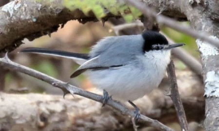 We drop into the Tehuantepec drainage one day where White-lored Gnatcatcher is one of the signature species.