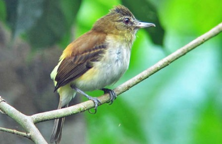 A tyrant-flycatcher who prefers lizards over flies is the often noisy Bright-rumped Attila.