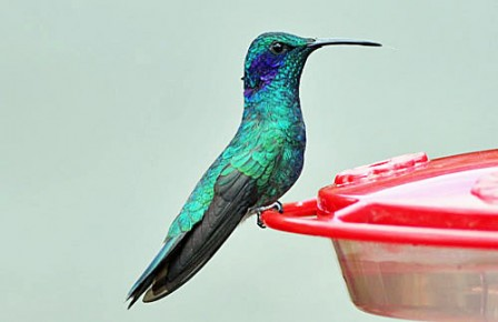 The Lesser Violetear, recently split from Mexican Violetear reaches its northernmost distribution in Costa Rica.