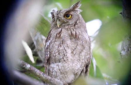 It's not rare to have a Pacific Screech-Owl staked out on a day roost where we have lunch one day.